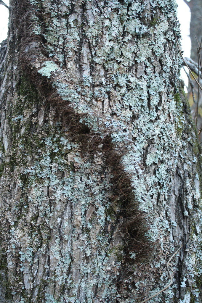 lichen-covered poison ivy vine