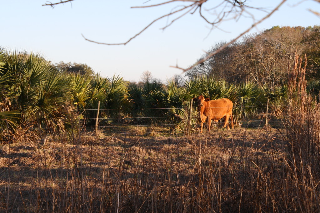 this cow was pissed that Kristin was taking its picture. heaving, grunting, snorting, staring; angry cow.