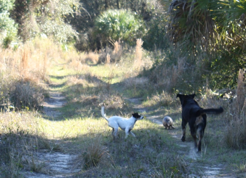 dogs finding another armadillo on the trail