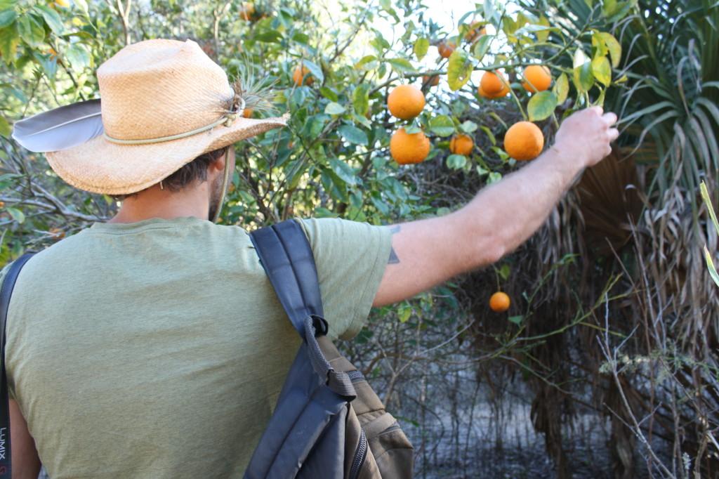 wild oranges!