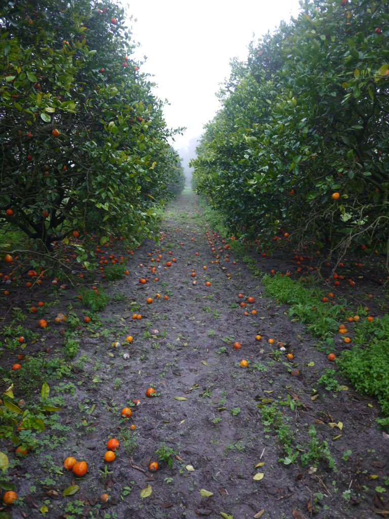 a last walk through the orange grove