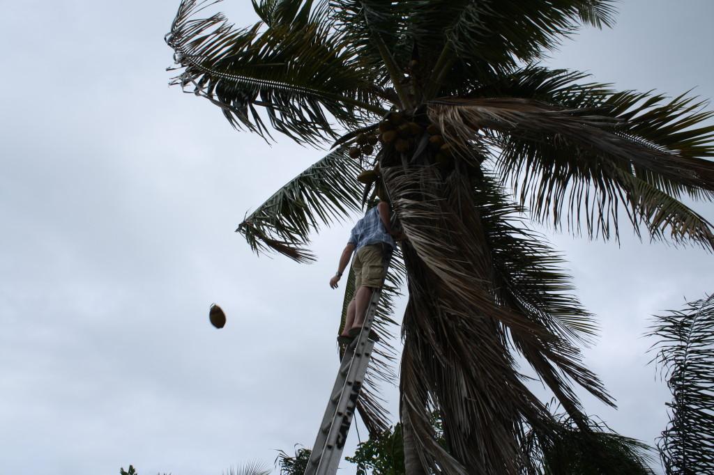 harvesting coconuts!