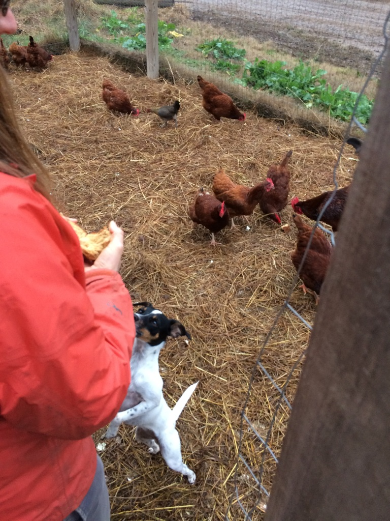 Widget does not think the chickens deserve all of the bread.