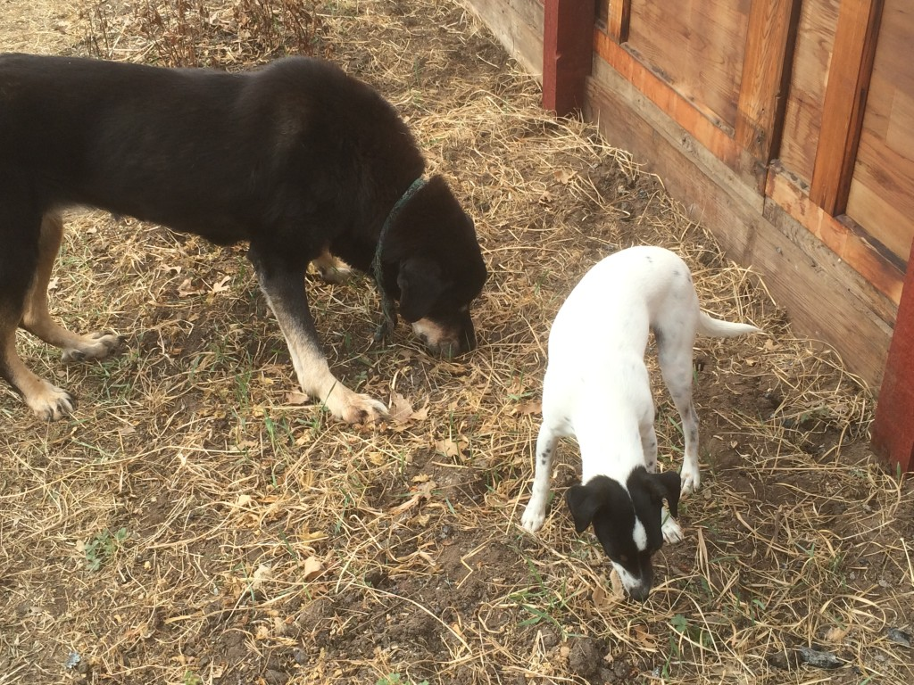 dogs grazing on the crab grass coming up in the greenhouse, long before it appeared outdoors