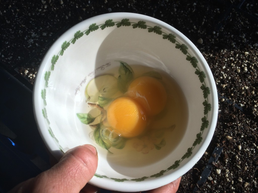 the giant egg turned out to be a double yolker