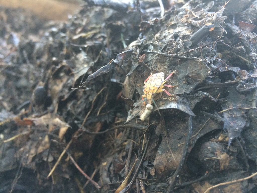 an assassin bug (?) sucking on a maggot in the compost pile