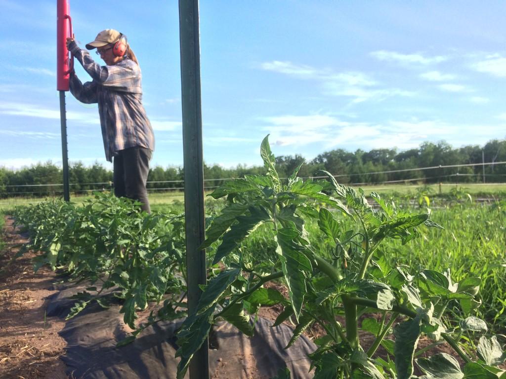 Kristin pounding posts, tomato plants being happy