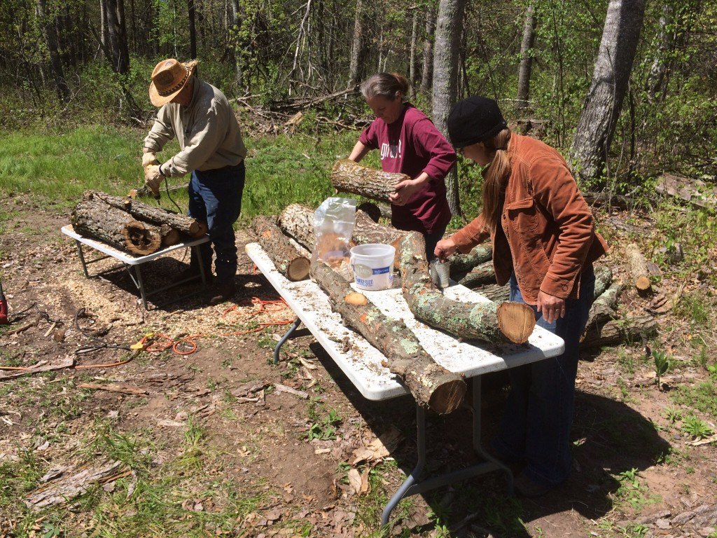 innoculating oak logs with shiitake mushroom spores with friends of the farm