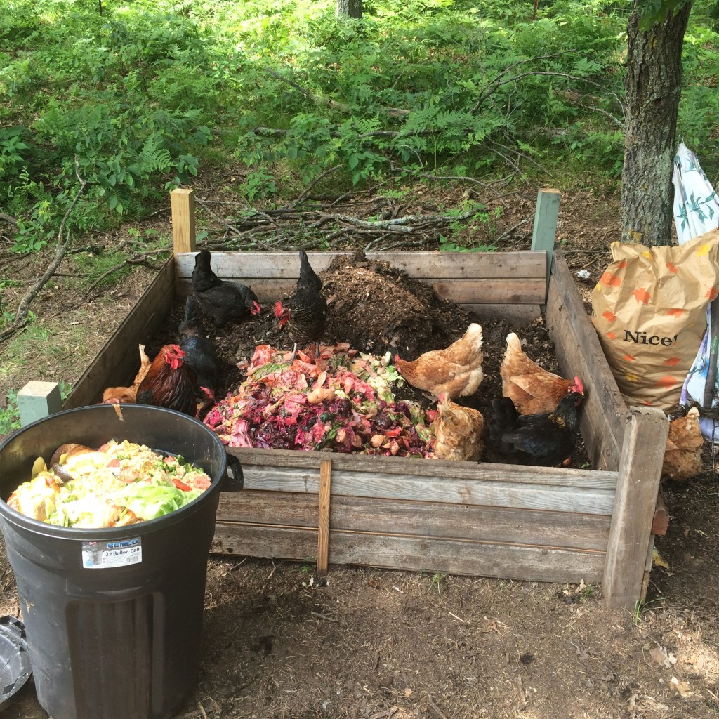 chickens working the compost pile