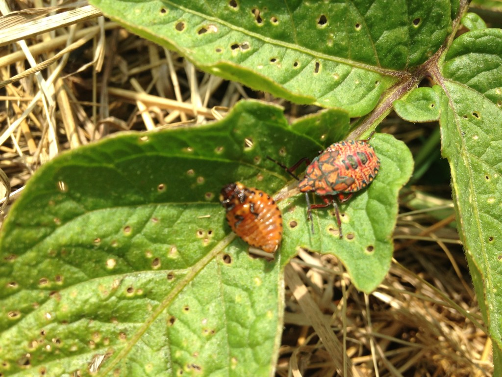 love the predator bugs that help control the potato beetle larvae!