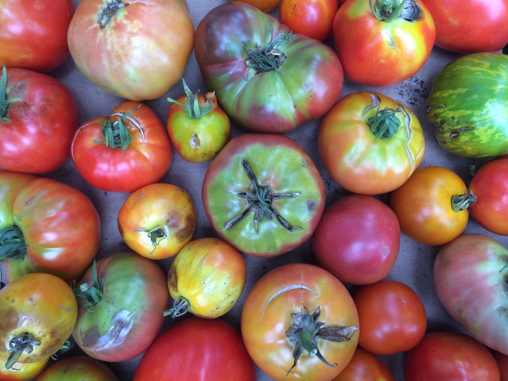the pile of reject tomatoes (destined for sauce and juice and salsa and such)