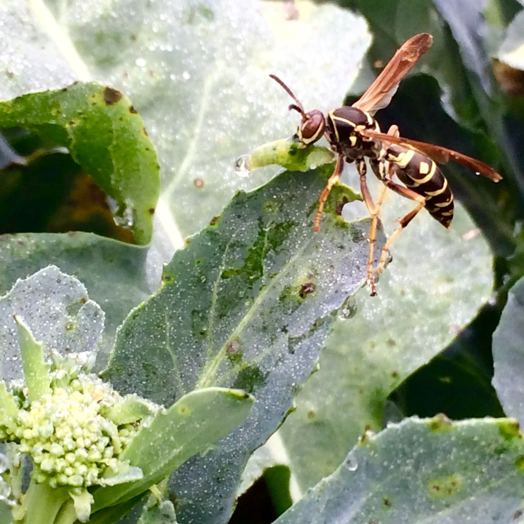 wasp eating a cabbage looper that had been eating our broccoli