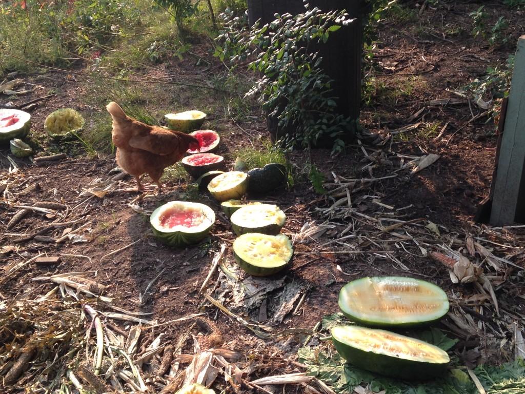 the chickens benefit when fungus attacks and kill melon vines
