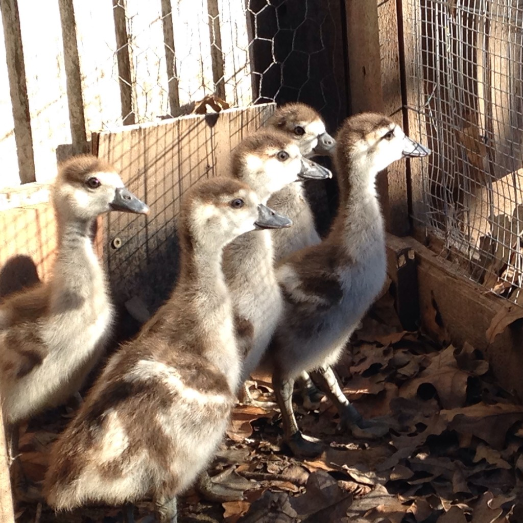 "adopted feral Egyptian Geese (which are technically not geese, or ducks - but ""shelducks."" in the space between the two"
