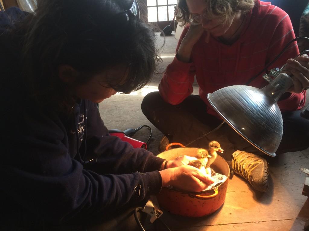 the Ward Sisters nursing ducklings