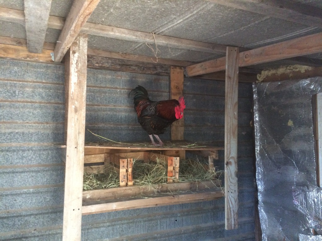 a rooster checking out the new roost / laying boxes we built