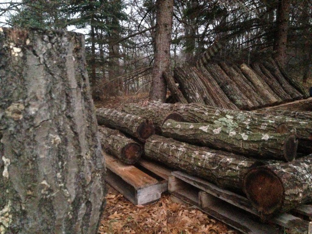 shiitake mushroom inoculated logs