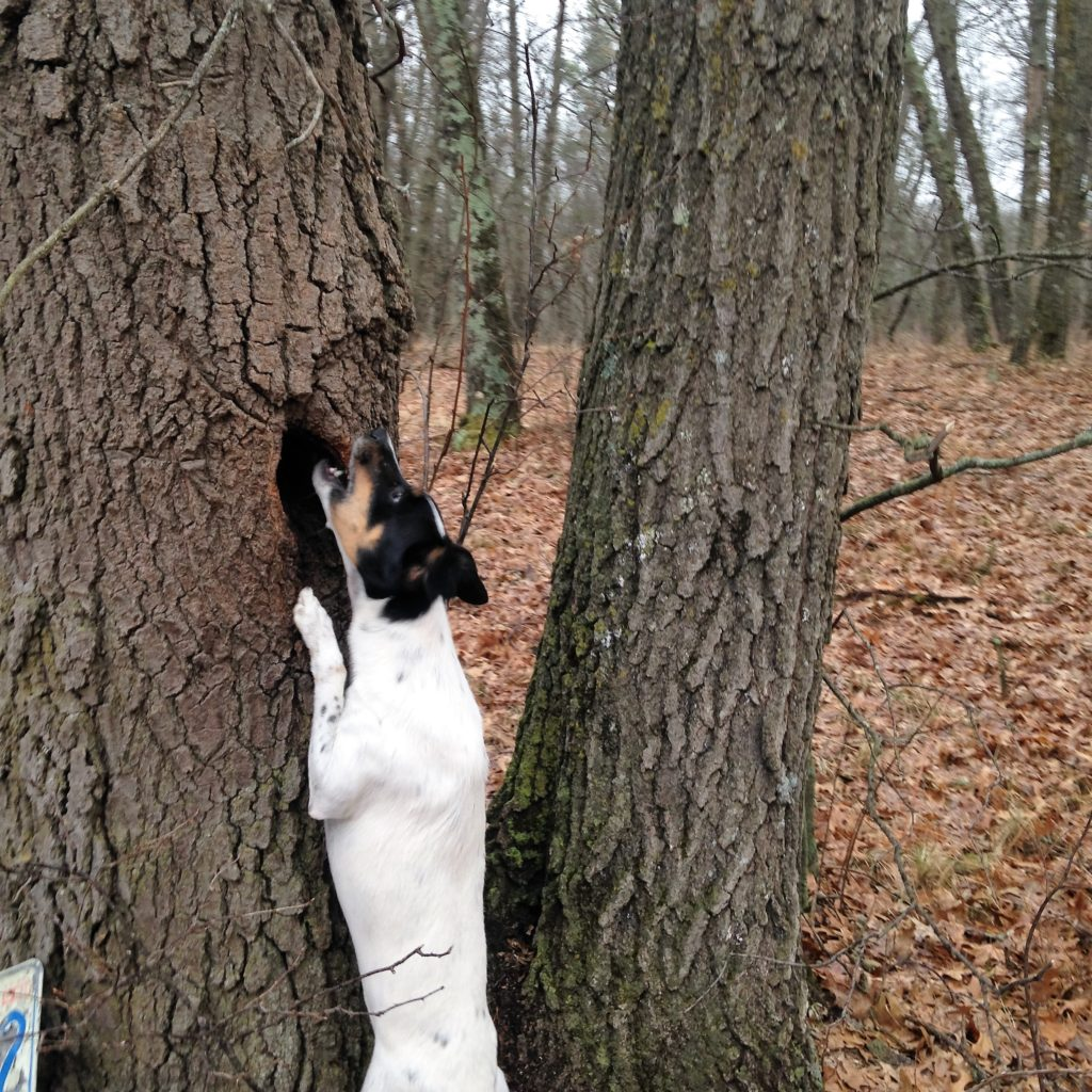 a frustrated Widget tries to chew into the tree where the red squirrel holes up