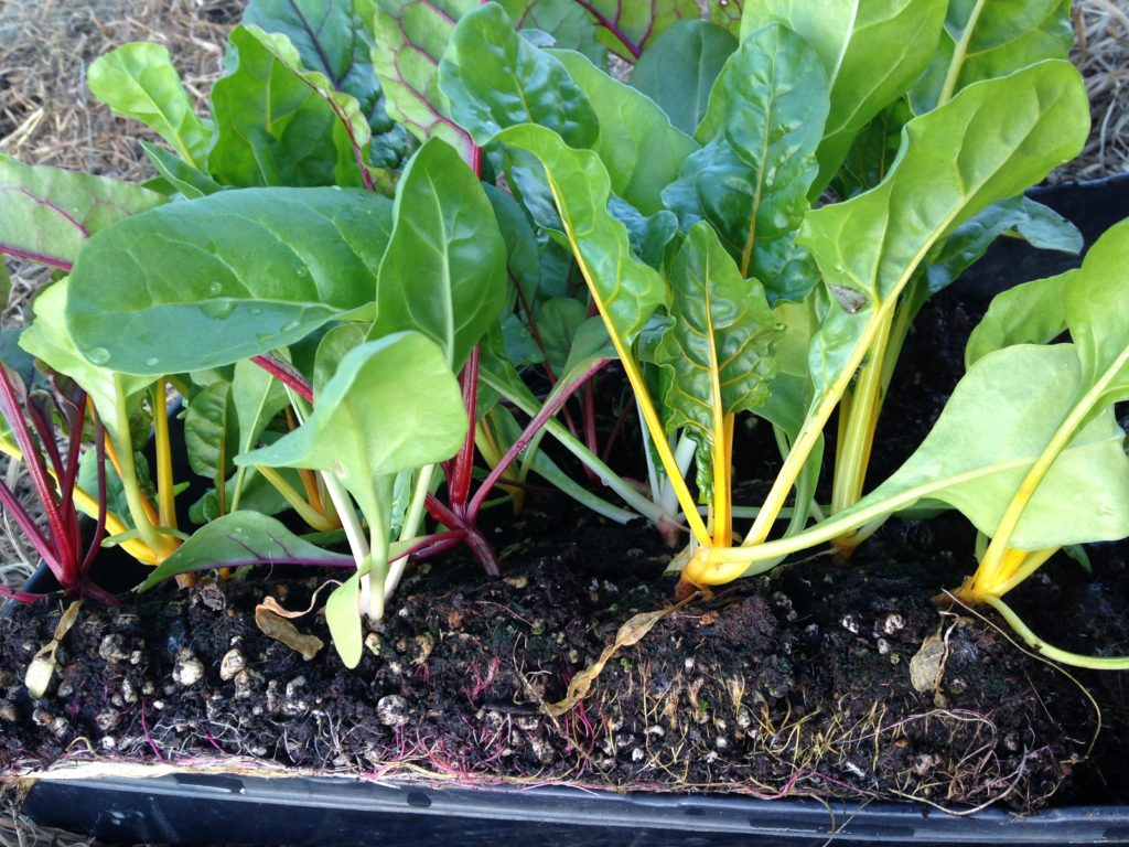 look closely - the Swiss chard has colorful roots, too!
