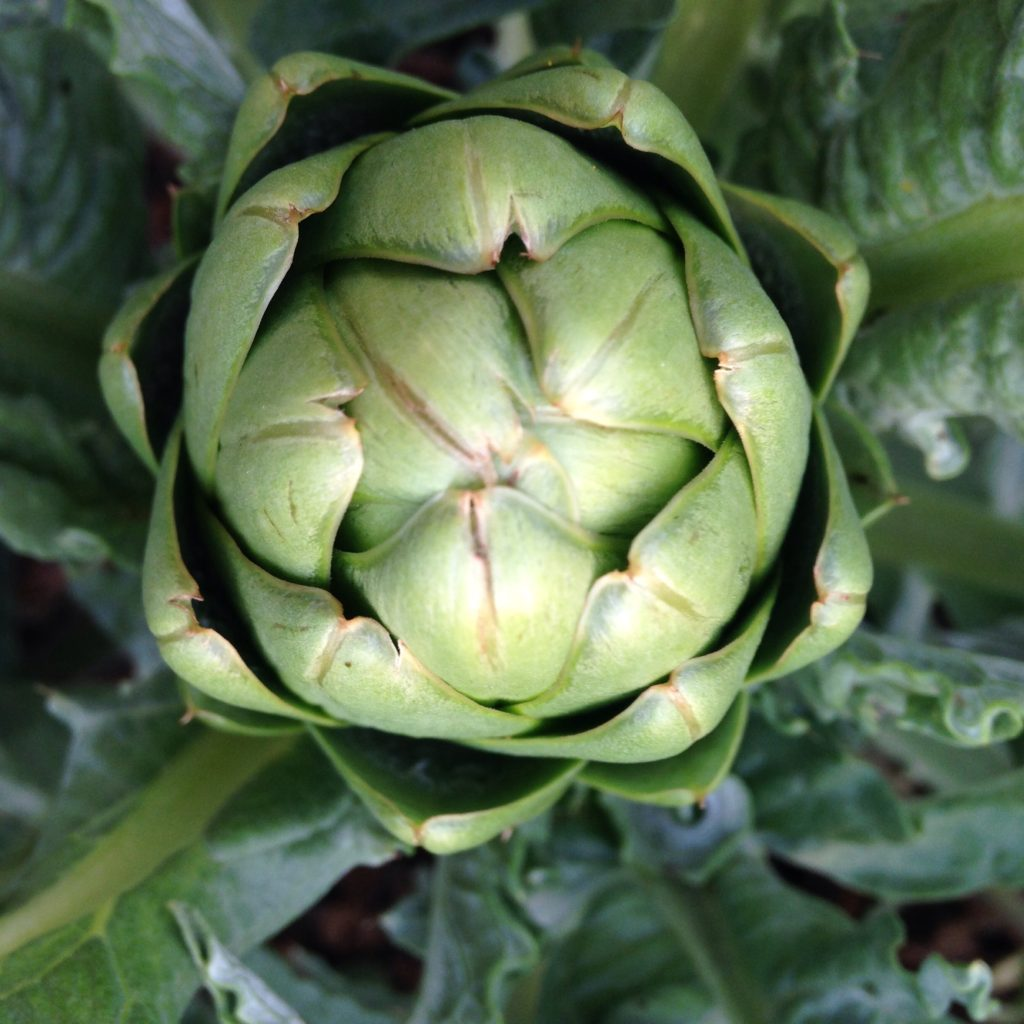 the high tunnel artichoke experiment lives!