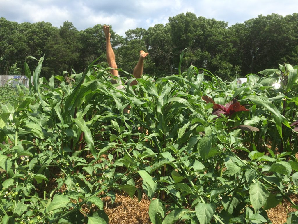 "the corn is indeed ""knee high by the 4th of July"""