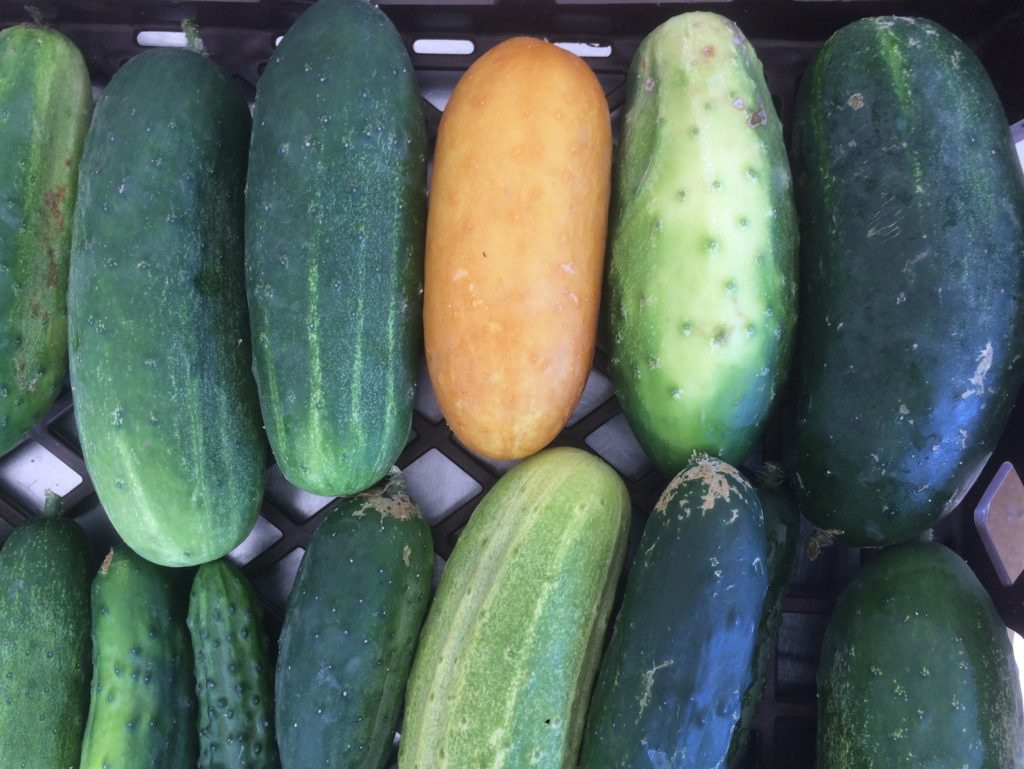 """that's not a rotten cucumber - it's a tender, tasty variety called """"Poona Kheera"""""""