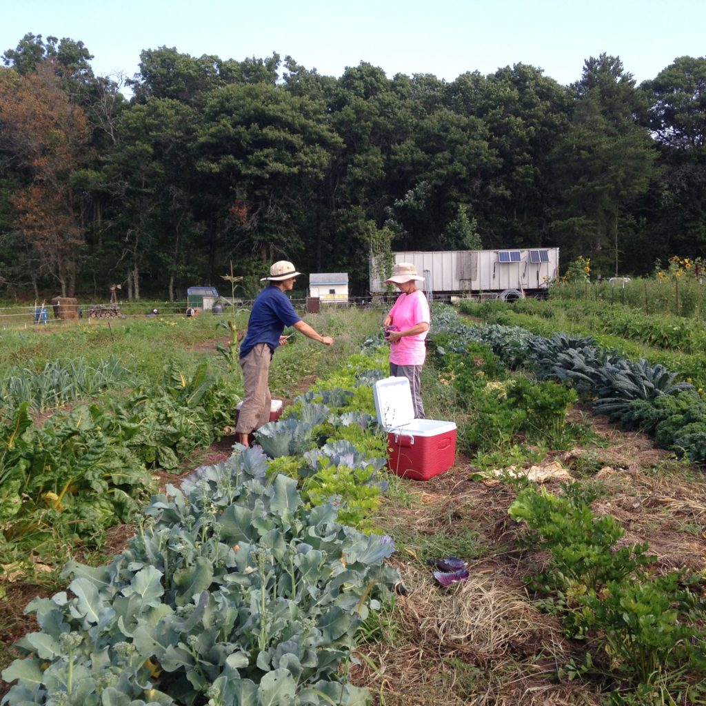 Marcia & Deb harvesting cabbages for the boxes