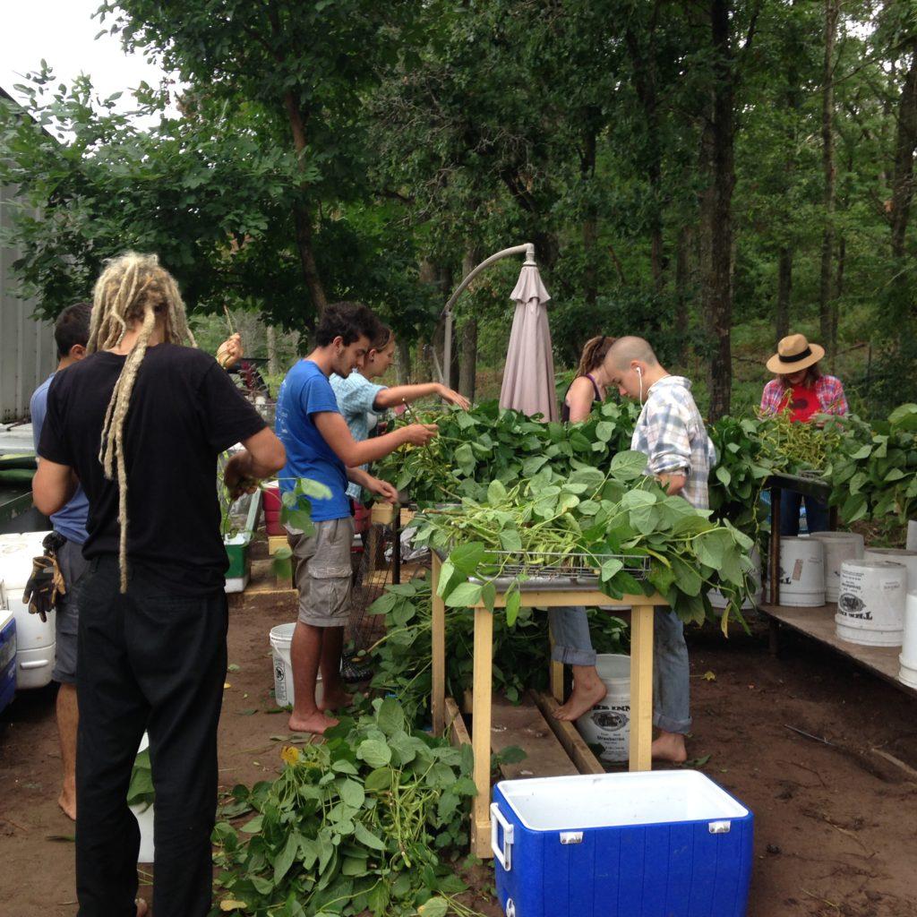 all hands on deck for edamame harvest!