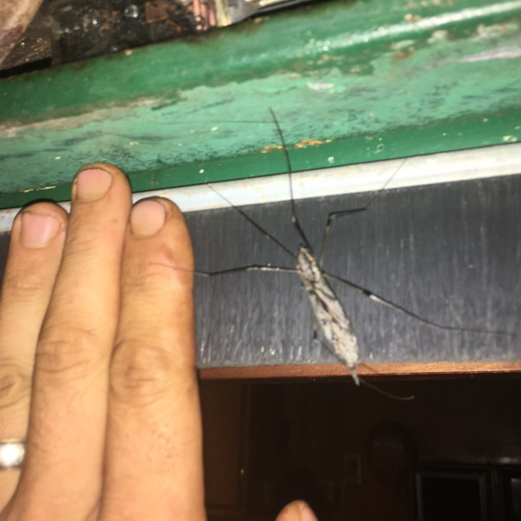 that's not a mosquito, thank god - it's a Giant Crane Fly
