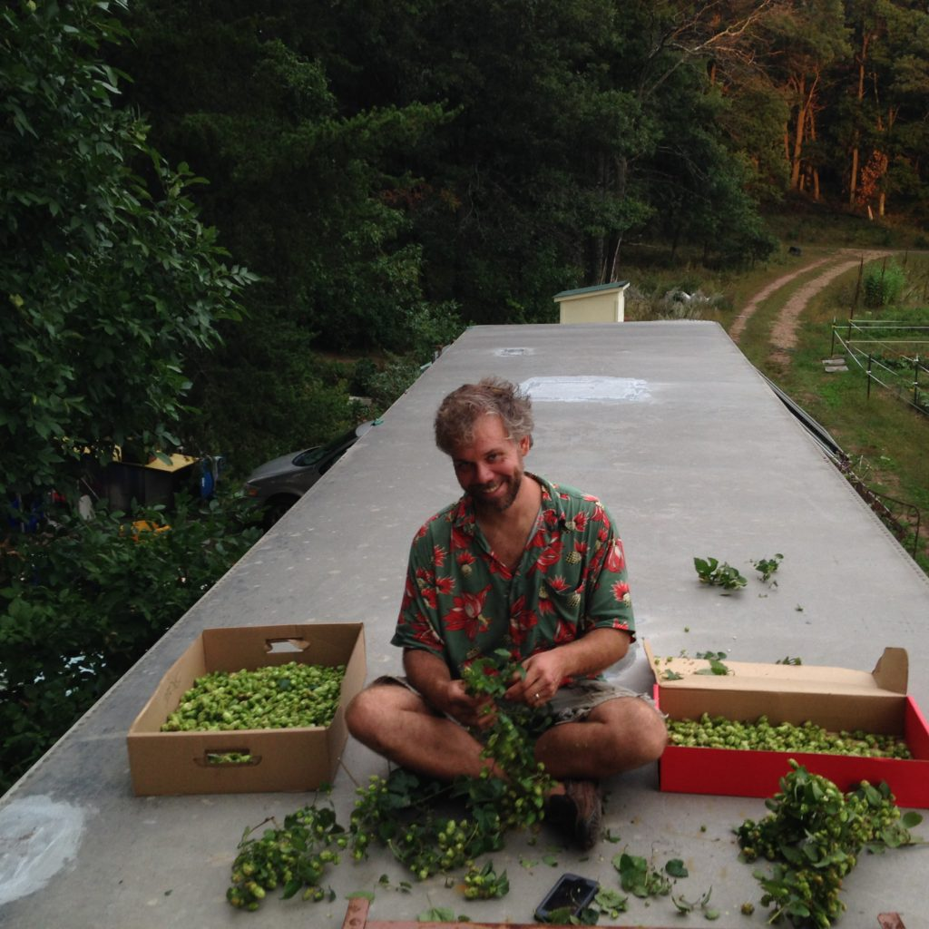 harvesting hops for beer brewing