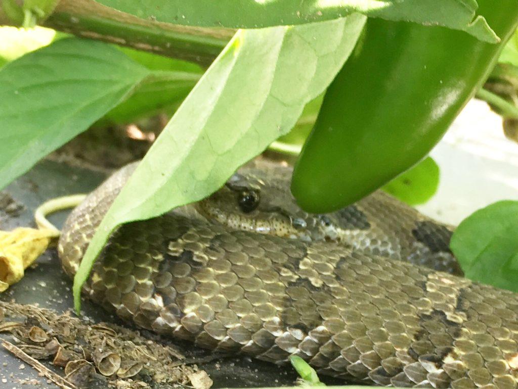 pepper snake