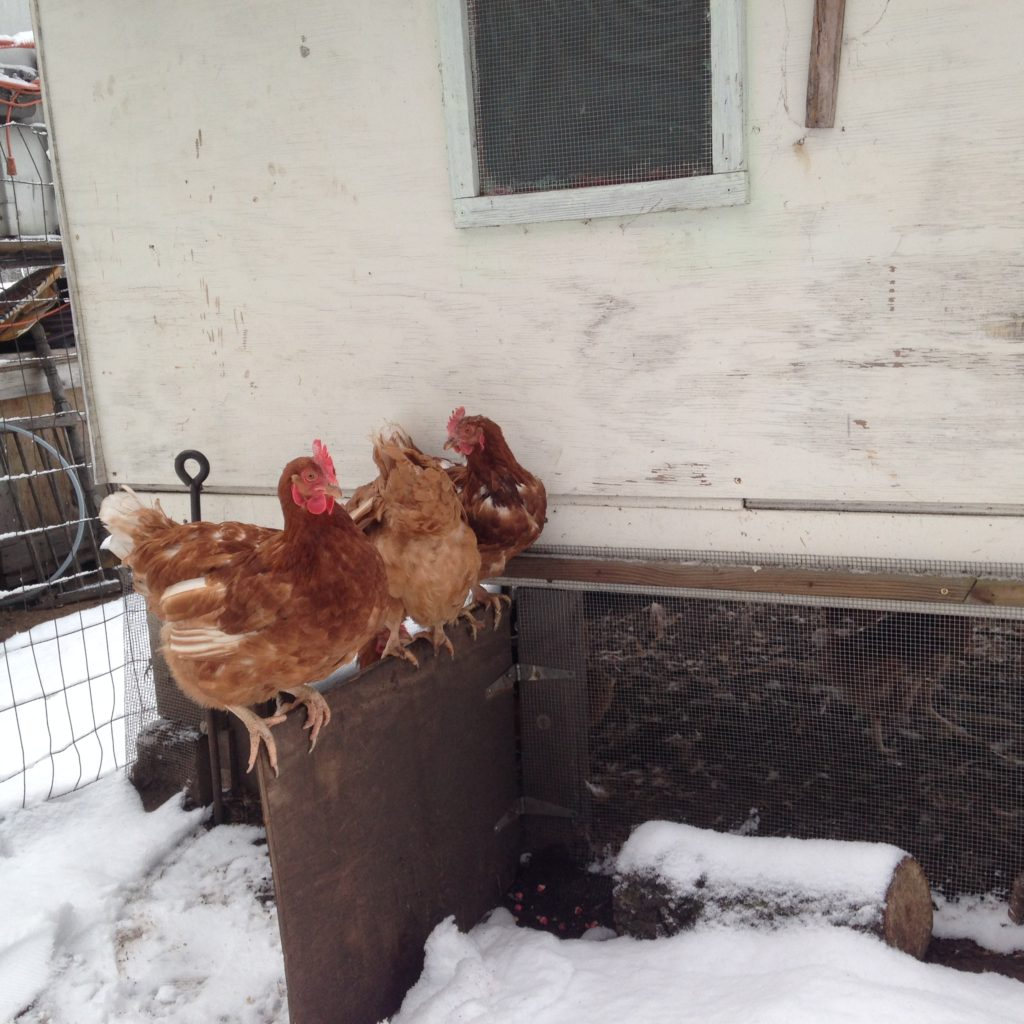 some of the new chickens had never been outside before coming here. they thought that the snow was lava and went to ridiculous lengths to avoid touching it