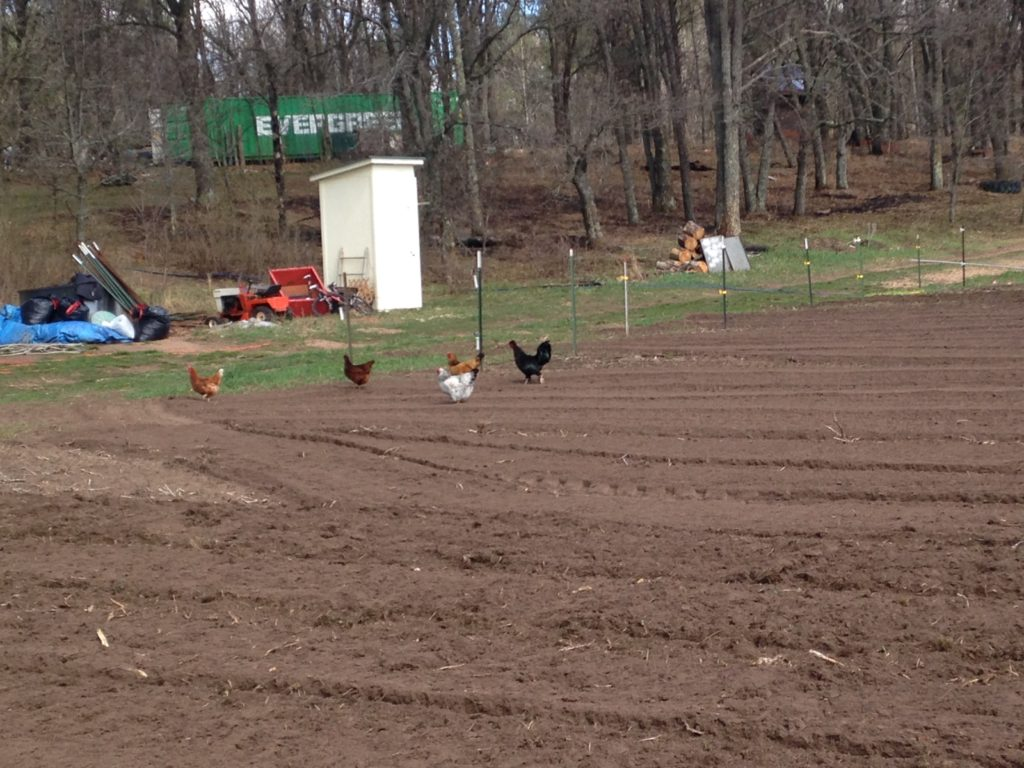 hens checking out the fresh;y-tilled soil. Hope they devoured some cutworms