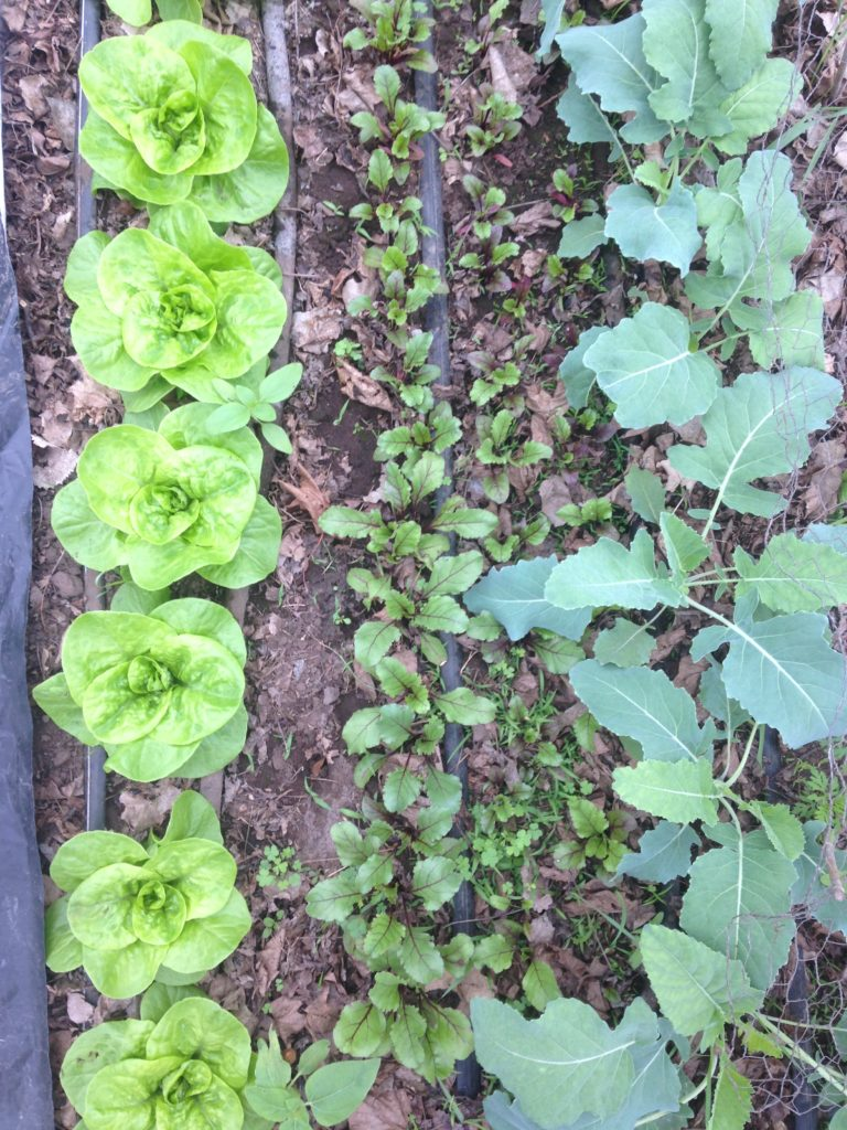 lettuce, beets, and kohlrabi