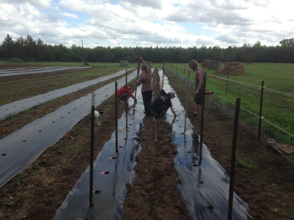 building the tomato trellises