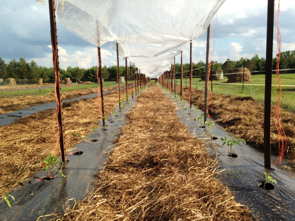 cloudy weather kept us from properly hardening-off the tomato plants to the sun - so of course as soon as we transplanted them out, the weather left the forecasted script and went full blazing sunshine ... we spared the tomatoes from the strongest rays with suspended row cover fabric