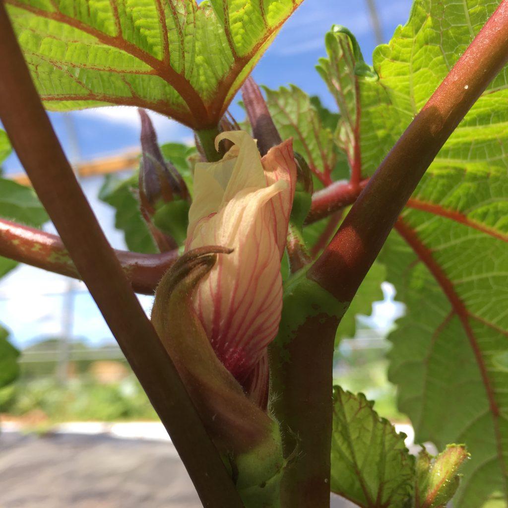 flowering okra