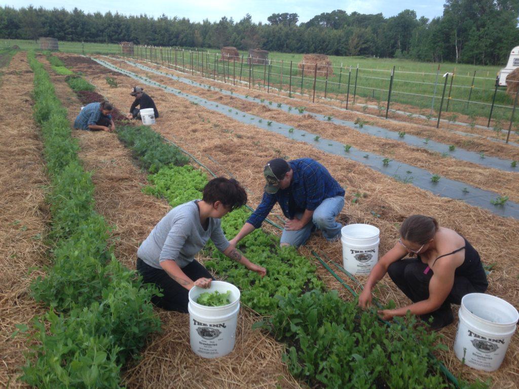 harvesting salad greens
