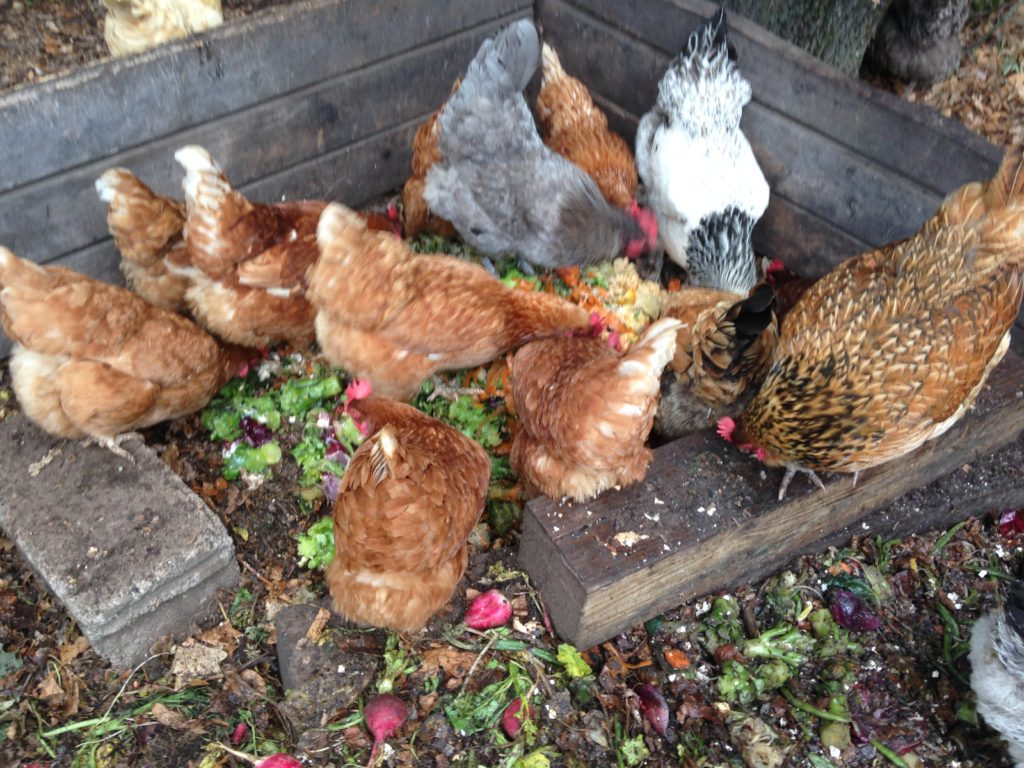 hens scavenge through the fresh compost