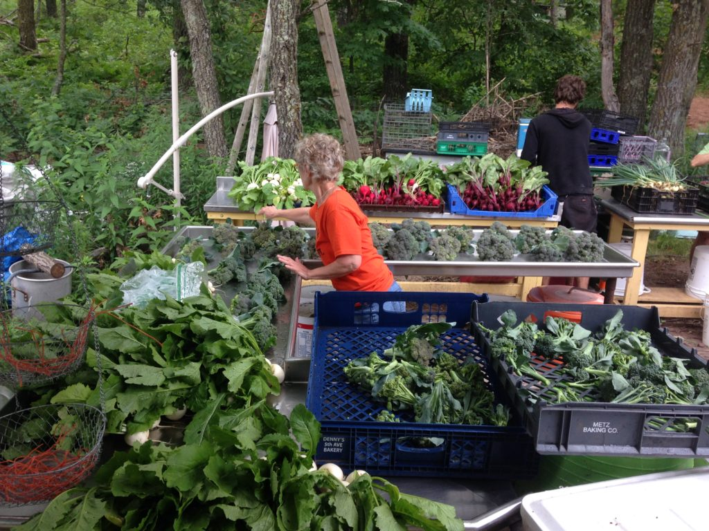 Matriarch Deb splitting up the broccoli harvest