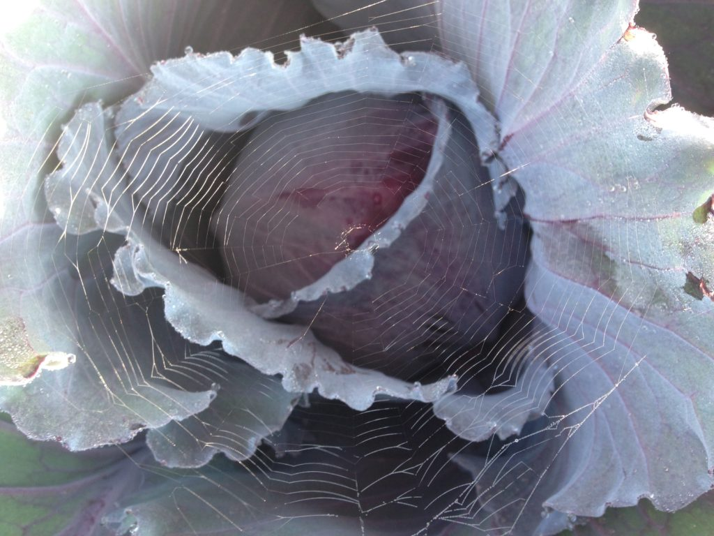 we use spiders to defend our cabbage from bugs