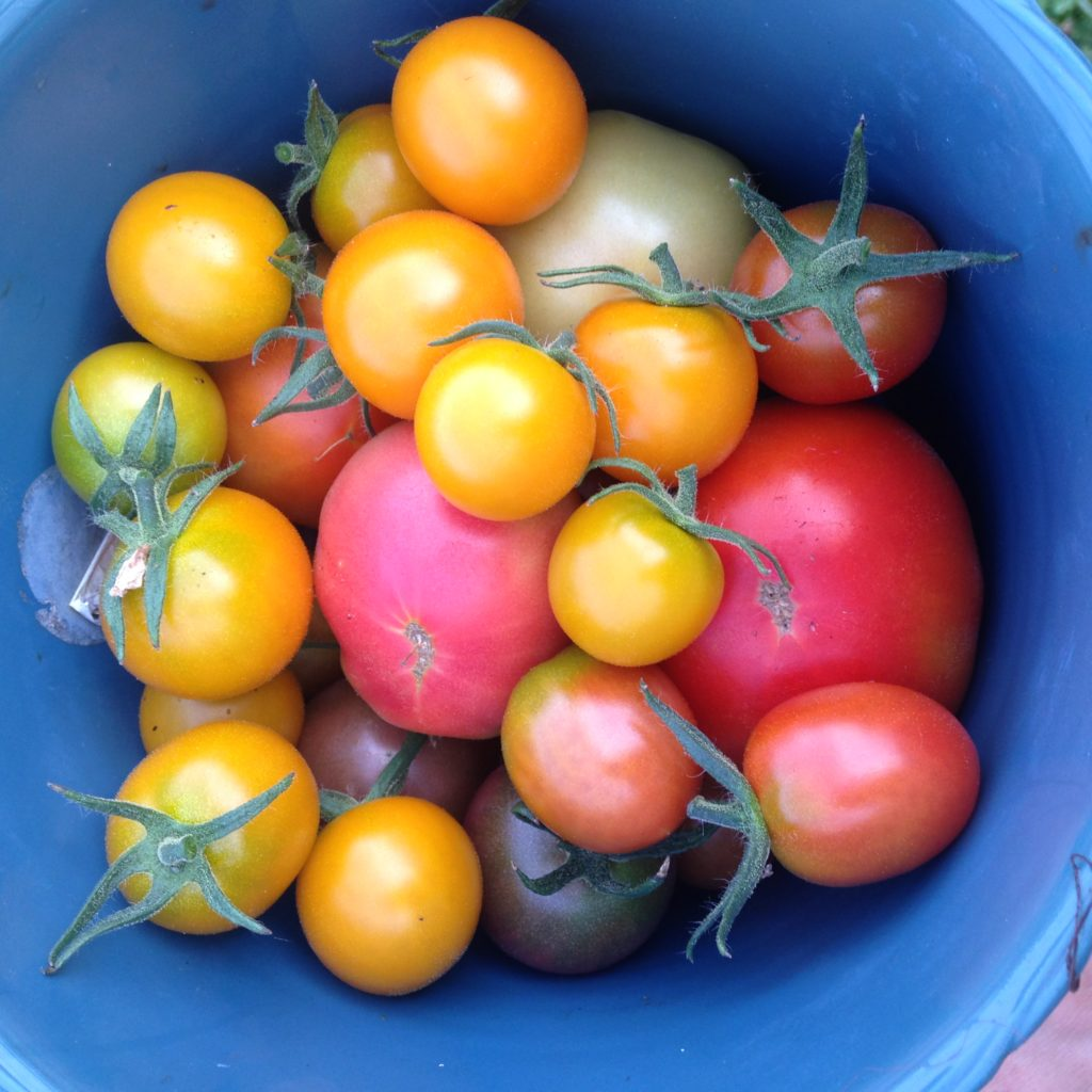 First ripe tomatoes of the season!!