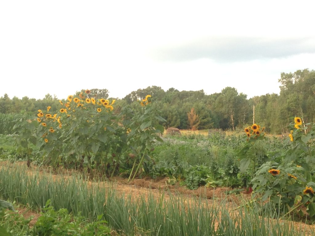 volunteer sunflowers abound