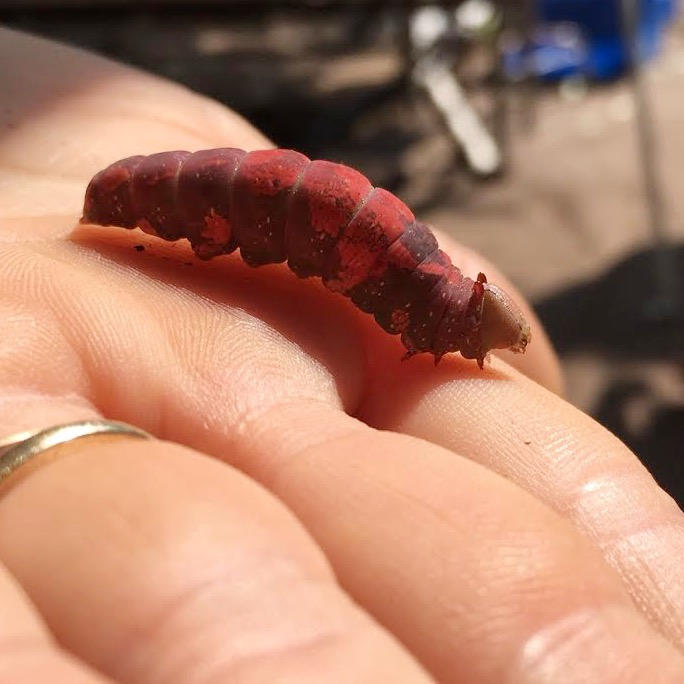 another red caterpillar we've never seen before!