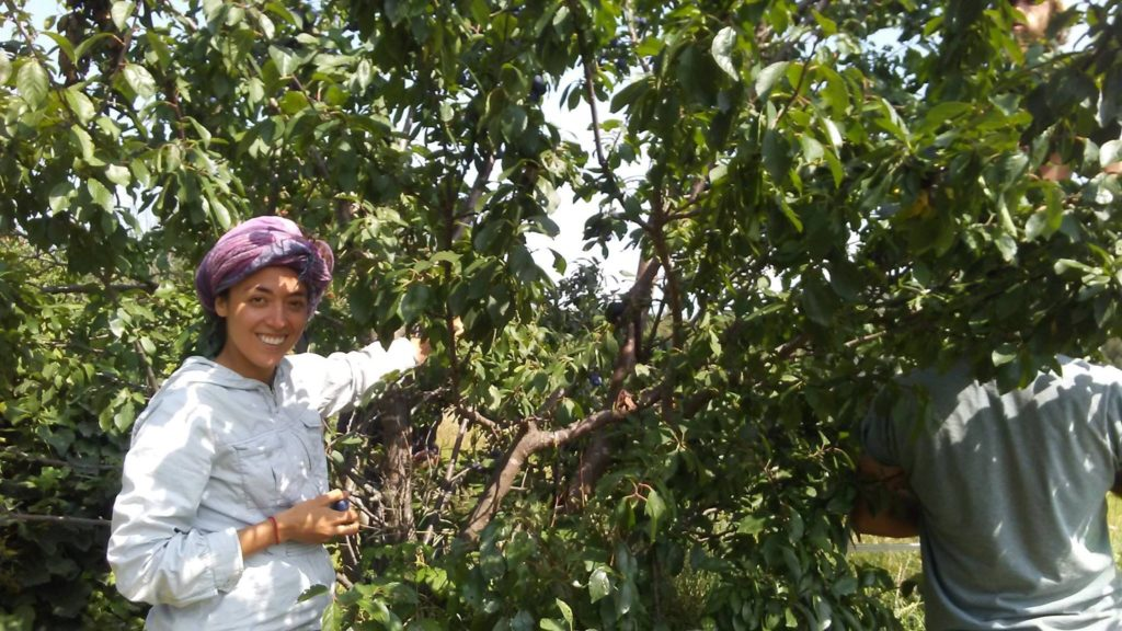 Azela & Gabe harvesting plums