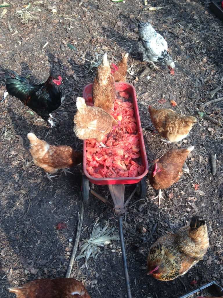 chickens feast on the remains of juiced watermelons