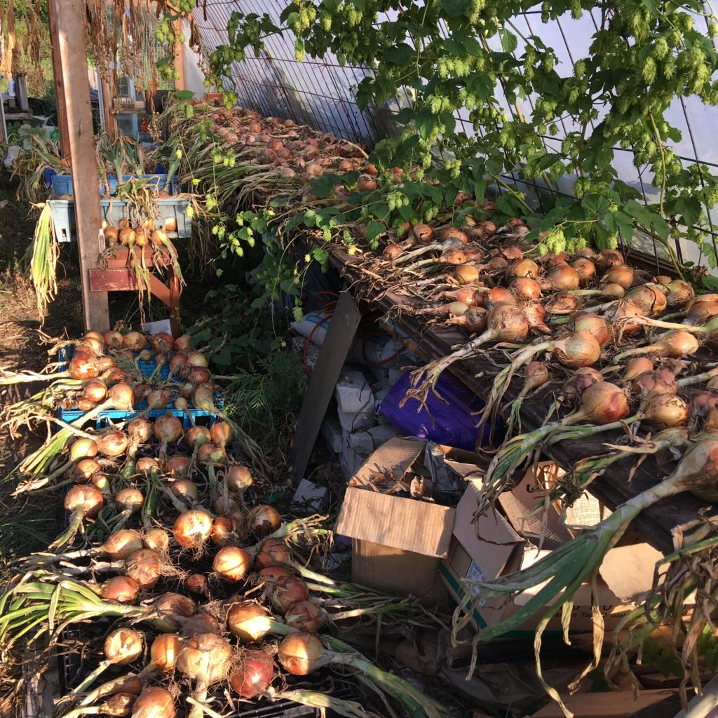 onions curing in the little greenhouse