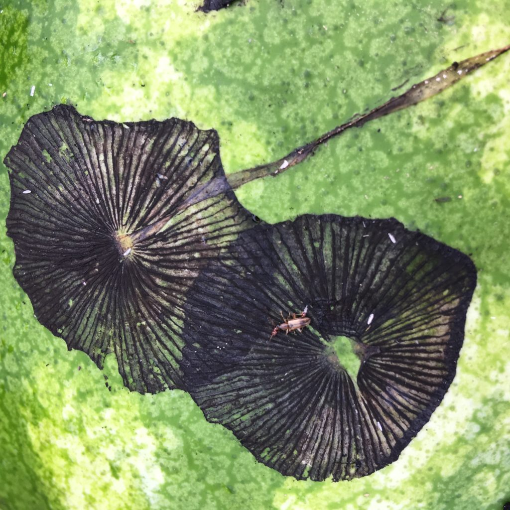 hay mushroom spore prints on a watermelon