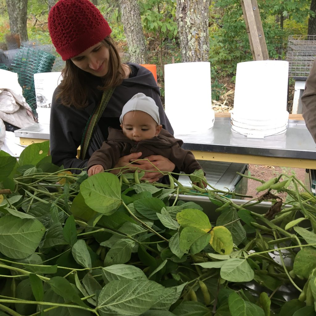 Bear helps us pluck pods from edamame plants