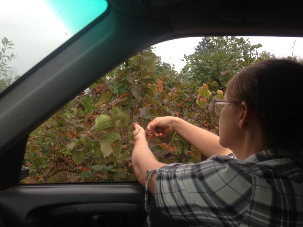 drive-by foraging hazelnuts in the Barrens